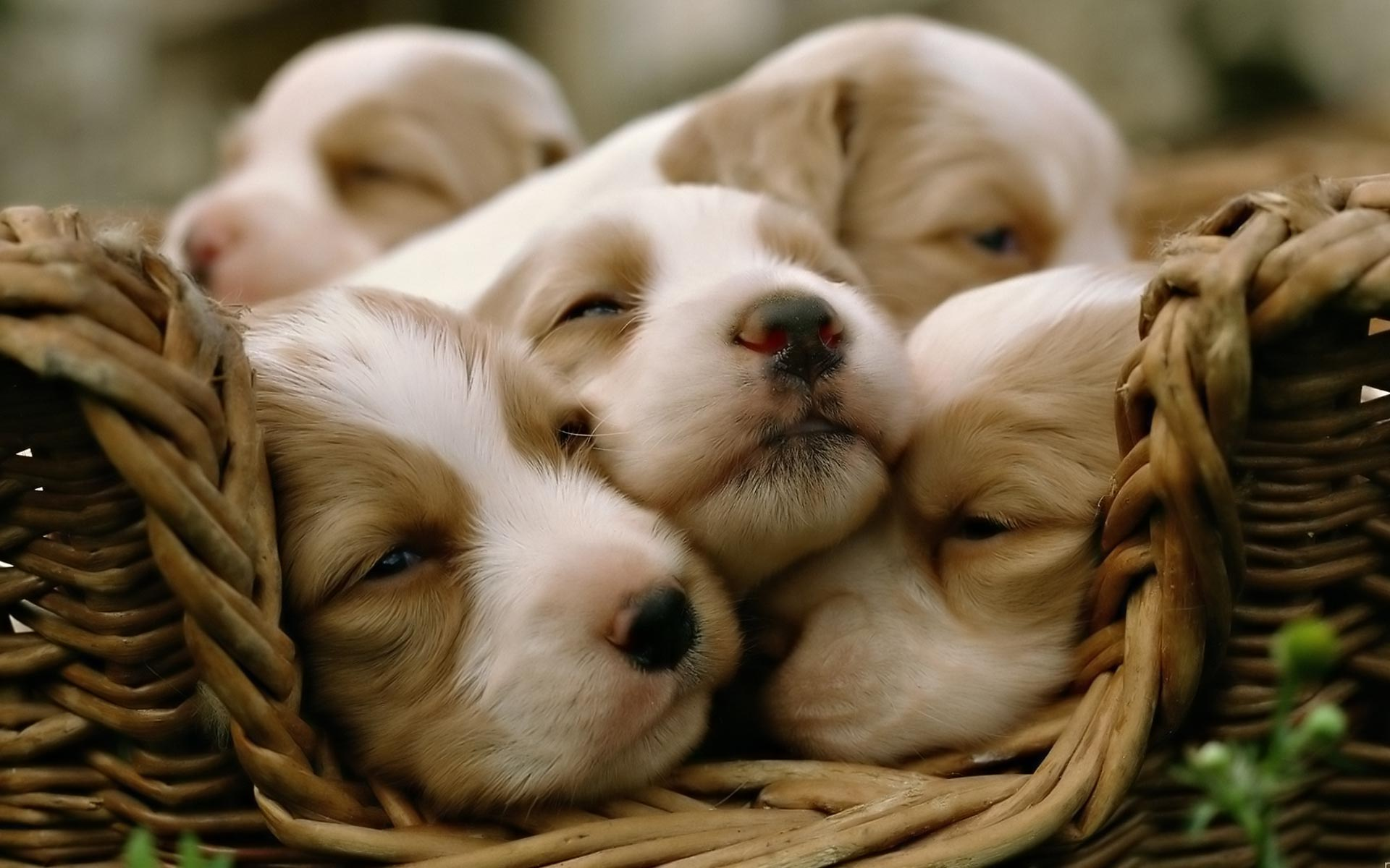 Puppies in a basket cute puppies pictures