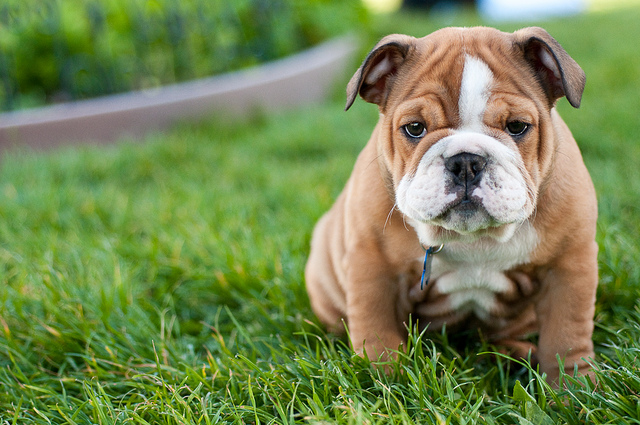Bull dog cute puppies pictures