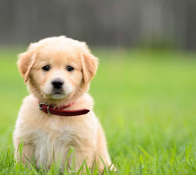 cute puppy in lawn cute puppies