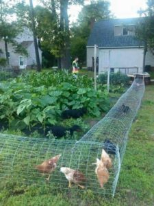 Cheap DIY Chicken Tunnel with Wire Mesh
