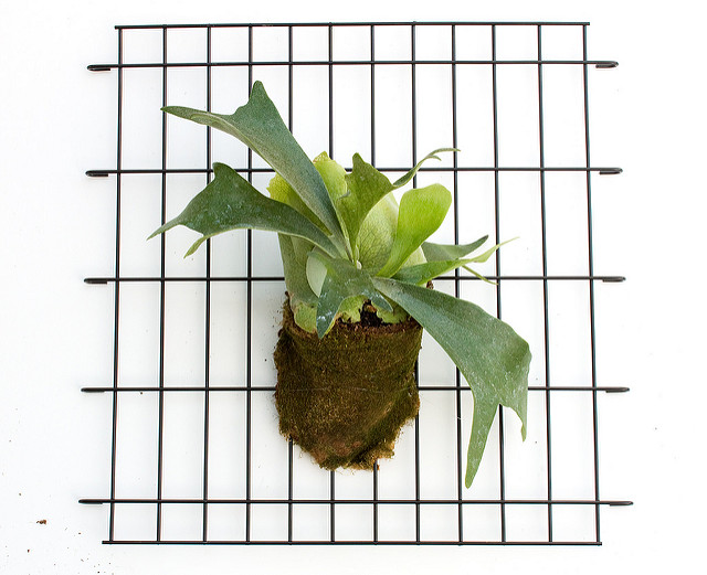 Handmade DIY Modern Staghorn Fern Planter with Sheet Moss on Monofilament Base